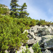 Stones and young pine trees on slopes of High Tatras — Stock Photo #30336045
