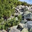 Stones and young pine trees on slopes of High Tatras — Stock Photo #30336053