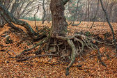 The roots of an old tree — Stock Photo