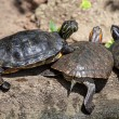 Turtle family — Stock Photo #36669141