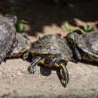 Turtle family — Stock Photo