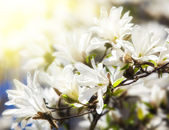 Blooming magnolia tree — Stock Photo