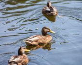 Wild ducks  — Stockfoto