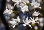 Arbre de magnolia fleurs — Photo
