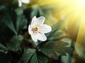 Anemone sylvestris. First spring flowers — Stock Photo