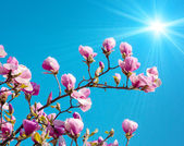 Blossoming of magnolia flowers — Stockfoto
