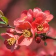 ������, ������: Red flowering Quince