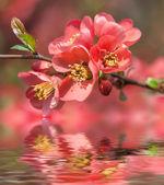 Rode bloei quince — Stockfoto