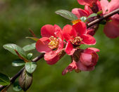 Red flowering Quince — Stock Photo