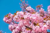 Sakura. blommade japanska körsbärsträd — Stockfoto