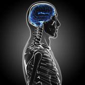 Human brain — Stock Photo
