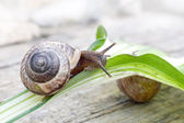 Interested snail goes on a leaf — Stock Photo