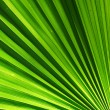 Chusam palm leaf section — Stock Photo #12084150