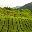 Stock Photo: Teplantation in cameron highlands ,malaysia