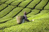 Tea plantation farmer — Stock Photo