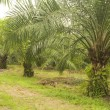 Palm oil plantation - Foto Stock
