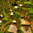 Stock Photo: Balinese rice terrace