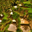 Balinese rice terrace — Stock Photo #12210285