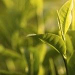 té verde hoja temprano en la mañana con el rayo de luz — Foto de Stock