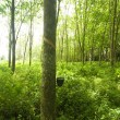 Rubber plantation closeup - Stock Photo