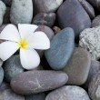 Frangipani flower on a stack of rocks — Stock Photo