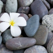 Stock Photo: Frangipani flower on a stack of rocks