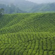 Tea plantation industry - Stock Photo