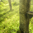 Stock Photo: Rubber plantation