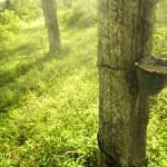 Rubber plantation — Stock Photo