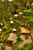 Balinese rice terrace — Stock Photo