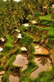 Balinese rice terrace — Stock Photo