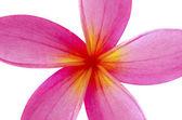 Frangipani flower isolated on white — Stock Photo
