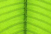The frangipani leaf background — Stock Photo