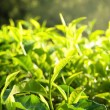 Green tea leaf in the morning — Stock Photo