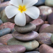 Frangipani on  pebbles and rocks for spa purpose — Stock Photo