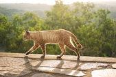 Gato andando durante o pôr do sol — Fotografia Stock