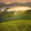Tea Plantation Sunrise early morning with fog at Cameron Highlan — Stok fotoğraf