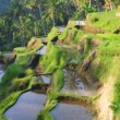 Terrace rice fields — Stock Video