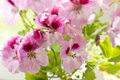 Pink pelargonia flowers and green leaves macro — Stock fotografie