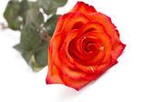 красная роза на белом — Стоковое фото