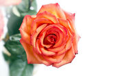 Red rose flower on white background — Stock Photo