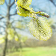 Spring blossoming osier tree — Stock Photo