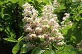 Horse-chestnut flowers — Stock Photo