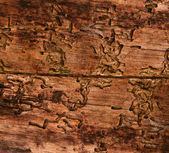 Old wood texture damaged by bark beetle, aged wooden board background — Stock Photo