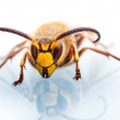 Wasp head on white — Stock Photo