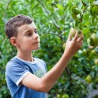 Boy picking pears — Stock Photo #12899643