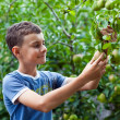 Boy picking pears — Stock Photo