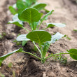 Cabbage seedlings — Stock Photo #12899653