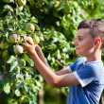 Boy picking apples — Stock Photo #12899670