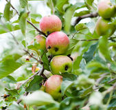 Bunch of red and green apples — Stock Photo